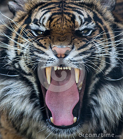 Sumatran tiger roar Editorial Photography