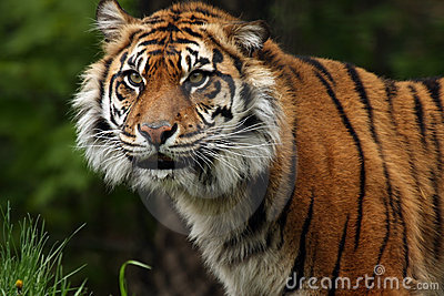 Sumatran Tiger Smile