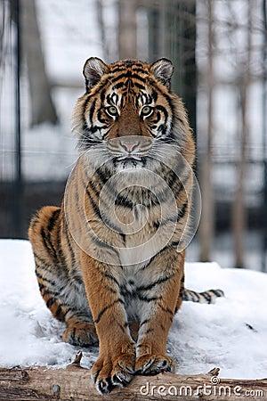 Sumatran tiger in snow