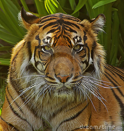 Sumatran Tigress.