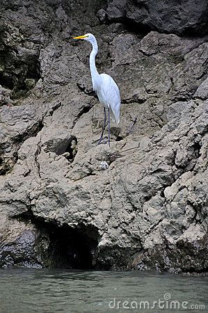 Sumidero Canyon Great Egret, Mexico