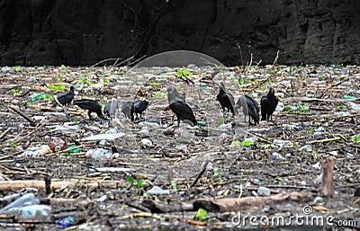 Sumidero Canyon vultures, Mexico