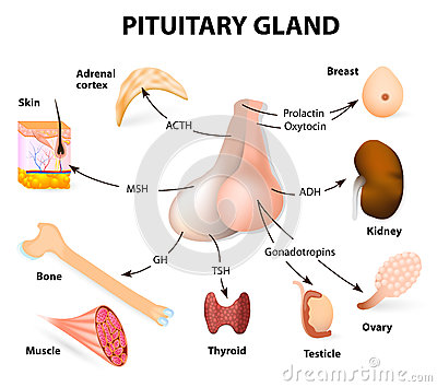 Summary hormones secreted from the pituitary gland