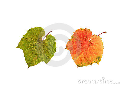 Summer and Autumn Grape Leaves