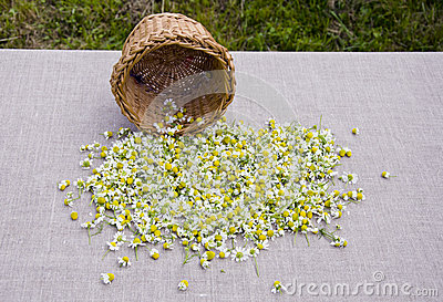 Summer camomile blossoms on linen cloth