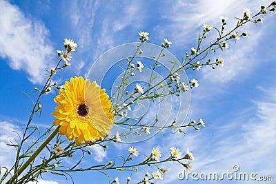 Summer daisy and blue sky