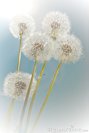 Free Summer Dandelions Royalty Free Stock Image - 15743966