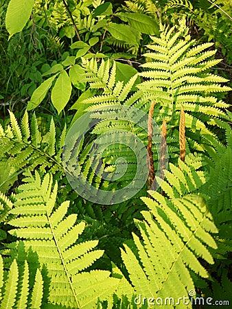 Summer: evening sunlit ferns