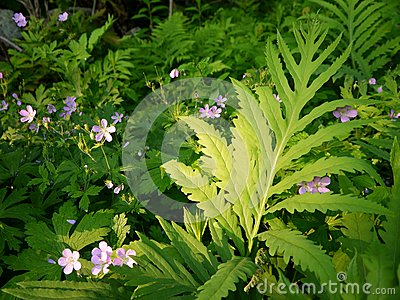 Summer: evening sunlit ferns and wildflowers