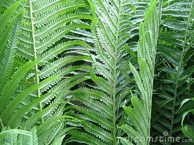 Summer Ferns