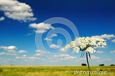 Summer Field and Flower