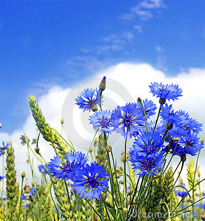 Free Summer Field From Blue Cornflower Royalty Free Stock Photo - 15527265