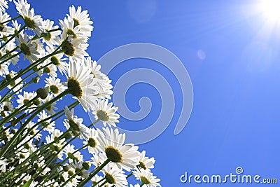 Summer Flowers (daisies)