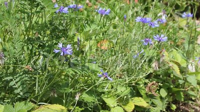 Summer flowers by sunny day. Bluets and bees. Cicadas singing stock video footage