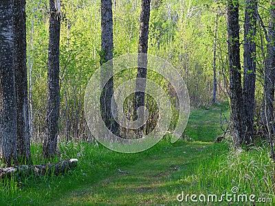 Summer forest in Minnesota