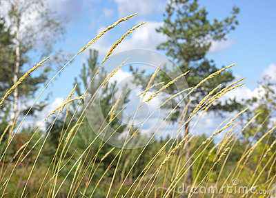 Summer grass swaying in the wind
