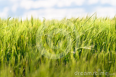Summer Green Wheat