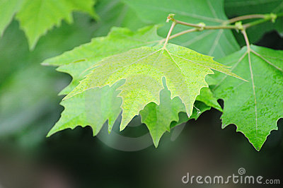 Summer indus leaves background