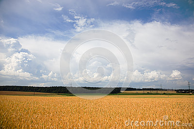 Summer landscape with a field of wheat