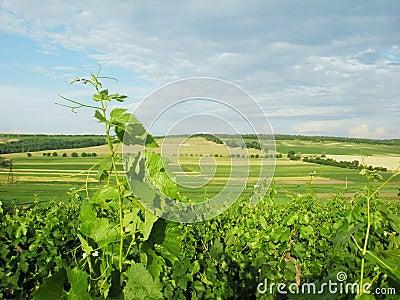 Summer landscape vineyard