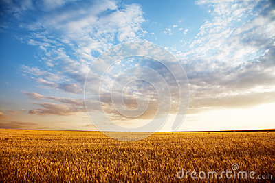 Summer landscape - wheat field