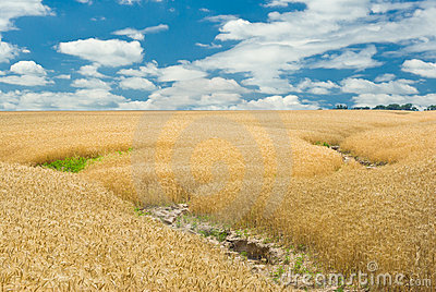 Summer landscape with wheat field and soil erosion