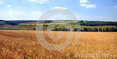 Summer landscape a wheat field in Ukrainian