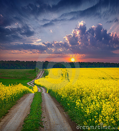 Free Summer Landscape With A Field Of Yellow Flowers Royalty Free Stock Image - 23298006
