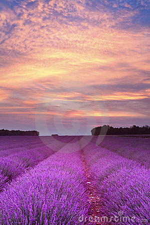 Free Summer Lavender Sunset Royalty Free Stock Photography - 15638857