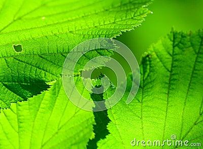 Summer leafs