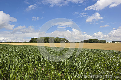 Summer maize crop