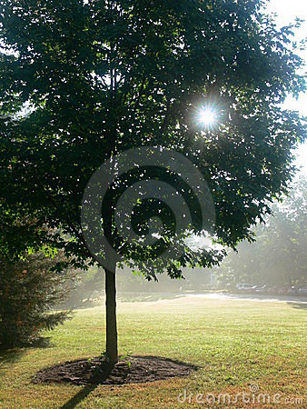 Summer: maple tree in mist
