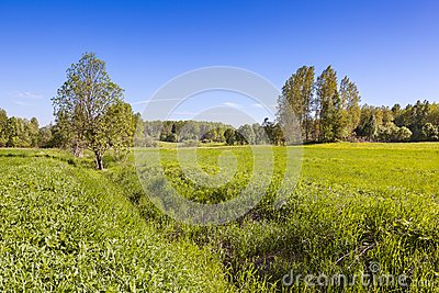 Summer meadow with green grass and trees