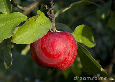 Summer Red apple