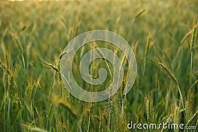 Summer rye