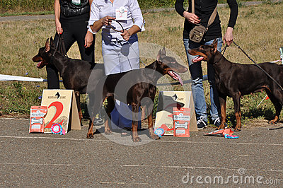 Summer show dog Editorial Stock Photo