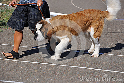 Summer show dog Editorial Stock Image