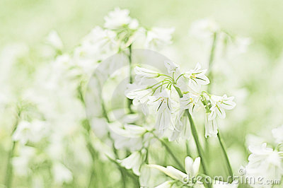 Summer snowflake flower