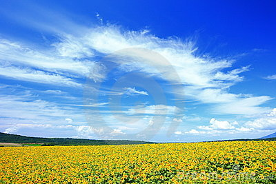 Summer sunflower field