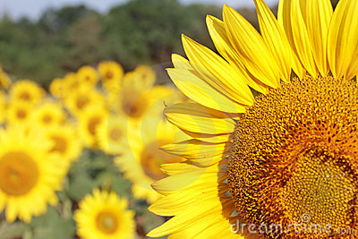 Summer Sunflowers Background