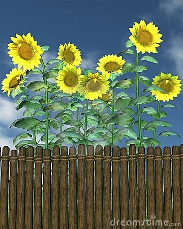 Summer Sunflowers by a garden fence