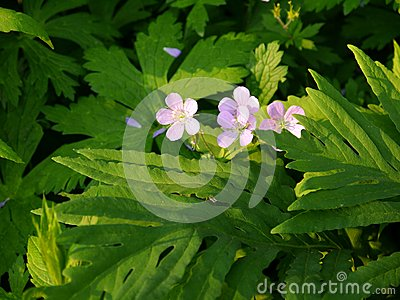 Summer: sunlit pink campion wildflowers - h