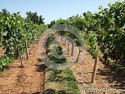 Summer Vineyard