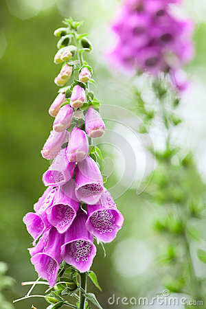 Free Summer Wildflowers Digitalis Purpurea Stock Photo - 31905500