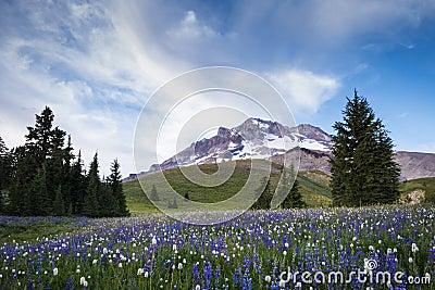 Summer wildflowers on Mt. hood, Oregon