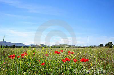 Summertime with poppies