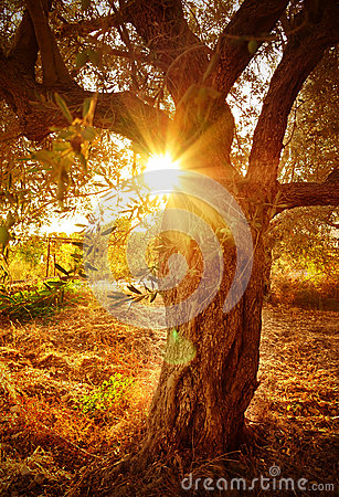 Sun beam through olive tree branch