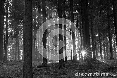 Sun beam woods