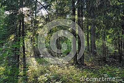 Sun beams shine through trees