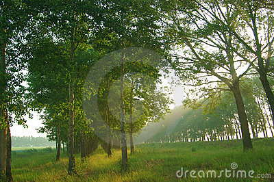 Sun Beams through Trees